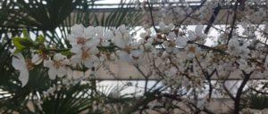 Nærvær og blomstrende abrikos